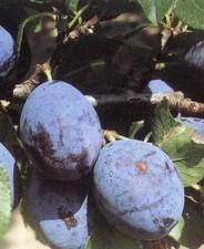 Cacanska Lepotica (szabadgyökeres szilva oltvány)