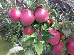 Gloster (szabadgyökeres alma oltvány)