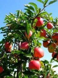 Húsvéti rozmaring (szabadgyökeres alma oltvány)