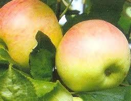 Nyári fontos (szabadgyökeres alma oltvány)