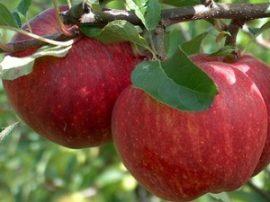 Tenroy (Royal Gala) Szabadgyökeres alma oltvány