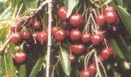 Hedelfingeni óriás (szabadgyökeres cseresznye oltvány)