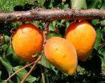Mandulakajszi (szabadgyökeres sárgabarack oltvány)