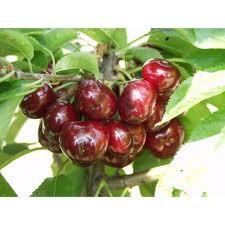 Katalin (szabadgyökeres cseresznye oltvány)