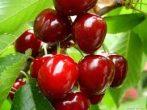 Linda (szabadgyökeres cseresznye oltvány)