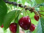 Margit (szabadgyökeres cseresznye oltvány)