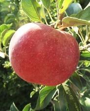 Idared (szabadgyökeres alma oltvány)