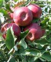 Jonathan M41 (szabadgyökeres alma oltvány)