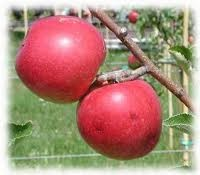 Gála (szabadgyökeres alma oltvány)