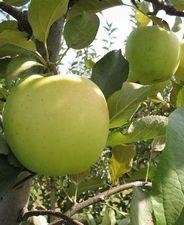Golden delicious (szabadgyökeres alma oltvány)