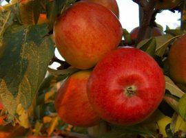 Braeburn (szabadgyökeres alma oltvány)