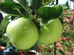 Granny Smith (szabadgyökeres alma oltvány)