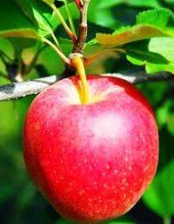 Éva (szabadgyökeres alma oltvány)