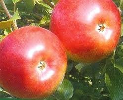Freedom (szabadgyökeres alma oltvány)