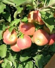 Jonagold (szabadgyökeres alma oltvány)