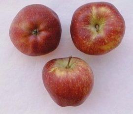 Starking (szabadgyökeres alma oltvány)