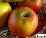 Téli arany parmen (szabadgyökeres alma oltvány)