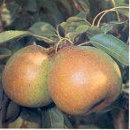 Serres Olivér (szabadgyökeres körte oltvány)