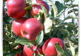 Naményi Jonatán (szabadgyökeres alma oltvány)