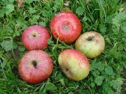 Téli pogácsaalma (szabadgyökeres alma oltvány)