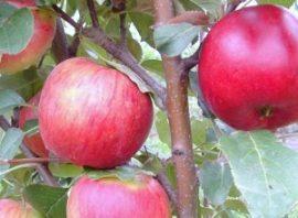 Egri piros (szabadgyökeres alma oltvány)