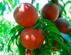 Flavortop (szabadgyökeres nektarin oltvány)