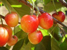 Vega (szabadgyökeres cseresznye oltvány)