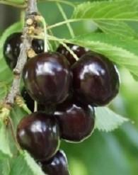 Szomolyai fekete (szabadgyökeres cseresznye oltvány)
