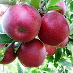 Nyári csíkos borízű (szabadgyökeres alma oltvány)