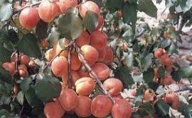 Rózsakajszi (szabadgyökeres sárgabarack oltvány)