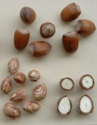 Corylus avellana 'Giant de halle' / 'Bergeri' / 'Buttler'  - nagytermésű mogyoró oltvány
