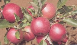 Jonager (szabadgyökeres alma oltvány)