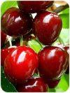 Carmen (szabadgyökeres cseresznye oltvány)